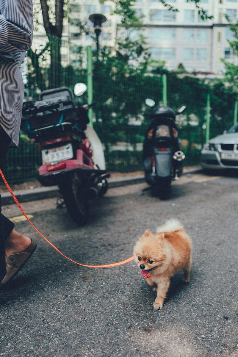 brown pomeranian puppy on black car